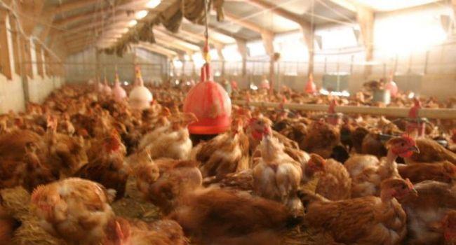 Un élevage géant de 185 000 poules soupçonné de causer des cancers dans un village du Tarn