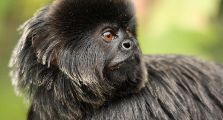 Vendée : le singe volé vendredi dans un zoo est en danger de mort